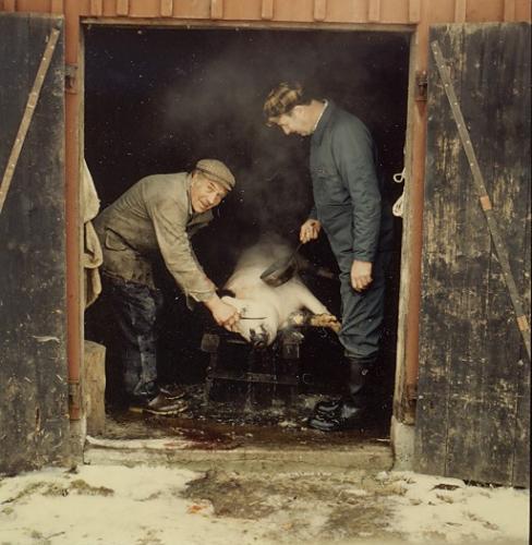 Julgrisen slaktas på Gärdet